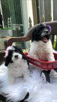 Bernedoodle Puppies for sale in Richmond, MI 48062, USA. price: NA