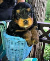 Bernedoodle Puppies for sale in Frewsburg, NY 14738, USA. price: NA