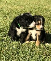 Bernedoodle Puppies for sale in Dallas, TX, USA. price: NA