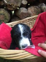 Bernedoodle Puppies for sale in Salem, IN 47167, USA. price: NA