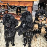 Bernedoodle Puppies for sale in Phelan, CA 92371, USA. price: NA