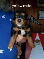 Bernedoodle Puppies for sale in St Paul, KS 66771, USA. price: NA