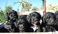 Bernedoodle Puppies for sale in Encinitas, CA, USA. price: NA