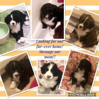 Bernedoodle Puppies for sale in Bamberg, SC 29003, USA. price: NA