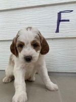 Bernedoodle Puppies for sale in Collinsville, IL, USA. price: NA