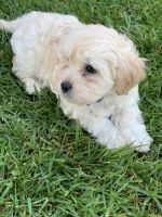 Bernedoodle Puppies for sale in Pico Rivera, CA, USA. price: NA