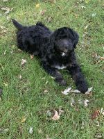 Bernedoodle Puppies for sale in Fort Ripley, MN 56449, USA. price: NA