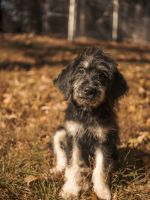 Bernedoodle Puppies for sale in Goodman, MO 64843, USA. price: NA