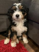Bernedoodle Puppies for sale in Wooster, OH 44691, USA. price: NA