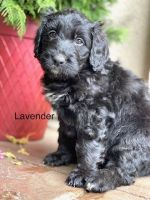 Bernedoodle Puppies for sale in Moorpark, CA 93021, USA. price: NA