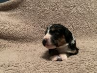 Bernedoodle Puppies for sale in Holt, MO 64048, USA. price: NA