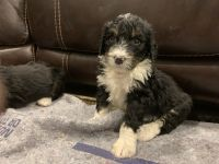 Bernedoodle Puppies for sale in Belgrade, MT 59714, USA. price: NA