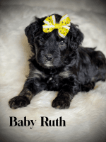 Bernedoodle Puppies for sale in Paducah, KY, USA. price: NA