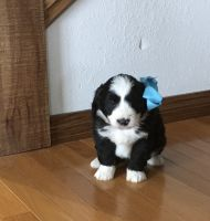 Bernedoodle Puppies for sale in Arthur, IL, USA. price: NA