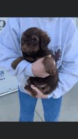 Bernedoodle Puppies for sale in London, KY, USA. price: NA