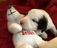 Bernedoodle Puppies for sale in Inwood, IA 51240, USA. price: NA