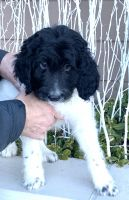 Bernedoodle Puppies for sale in Richmond, IL 60071, USA. price: NA