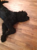 Bernedoodle Puppies for sale in Howell, MI, USA. price: NA