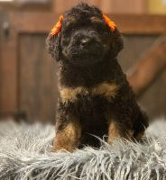 Bernedoodle Puppies for sale in Myrtle Beach, SC, USA. price: NA
