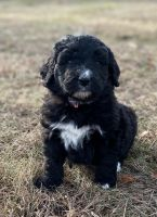 Bernedoodle Puppies for sale in Rochester, MA, USA. price: NA