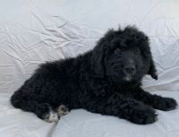 Bernedoodle Puppies for sale in Berlin, NJ 08009, USA. price: NA