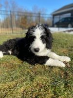 Bernedoodle Puppies for sale in Detroit Metropolitan Area, MI, USA. price: NA