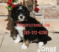 Bernedoodle Puppies for sale in Orem, UT, USA. price: NA