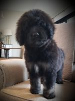 Bernedoodle Puppies for sale in Albion, IN 46701, USA. price: NA