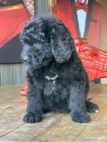 Bernedoodle Puppies for sale in Bell Gardens, CA 90202, USA. price: NA