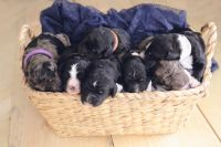 Bernedoodle Puppies for sale in Mayville, WI 53050, USA. price: NA