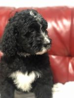 Bernedoodle Puppies for sale in Bardstown, KY 40004, USA. price: NA