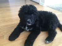 Bernedoodle Puppies for sale in Golden, CO, USA. price: NA