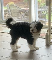 Bernedoodle Puppies for sale in Charles Town, WV 25414, USA. price: NA