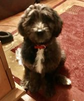 Bernedoodle Puppies for sale in Paramus, NJ 07652, USA. price: NA