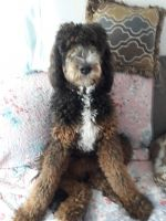 Bernedoodle Puppies for sale in Pahrump, NV 89048, USA. price: NA