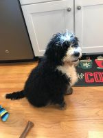 Bernedoodle Puppies for sale in North Kingstown, RI, USA. price: NA
