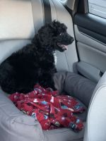 Bernedoodle Puppies for sale in Sacramento, CA, USA. price: NA