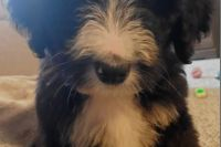 Bernedoodle Puppies for sale in Felder Ave, Montgomery, AL, USA. price: NA