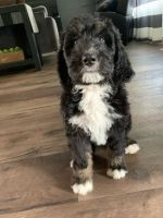 Bernedoodle Puppies for sale in Quincy, IL, USA. price: NA
