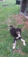 Bernedoodle Puppies for sale in Castorland, NY 13620, USA. price: NA