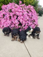 Bernedoodle Puppies for sale in Fort Wayne, IN, USA. price: NA