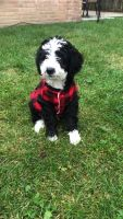 Bernedoodle Puppies for sale in Niles, IL, USA. price: NA