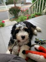 Bernedoodle Puppies for sale in Lake City, FL, USA. price: NA