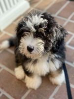 Bernedoodle Puppies for sale in Hockessin, DE 19707, USA. price: NA
