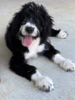 Bernedoodle Puppies for sale in Rogers, AR, USA. price: NA