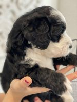 Bernedoodle Puppies for sale in Port St. Lucie, FL, USA. price: NA