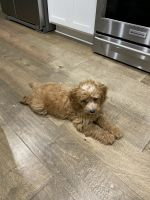 Bernedoodle Puppies for sale in Austin, TX, USA. price: NA