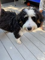 Bernedoodle Puppies for sale in Boulder, CO 80304, USA. price: NA