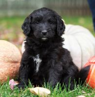 Bernedoodle Puppies for sale in Omaha, NE, USA. price: NA