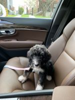 Bernedoodle Puppies for sale in Washington, DC 20020, USA. price: NA